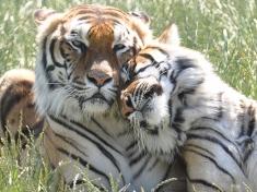 Tigerpark Dassow Deutschland
